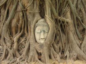 Buddha In Tree Ayutthaya